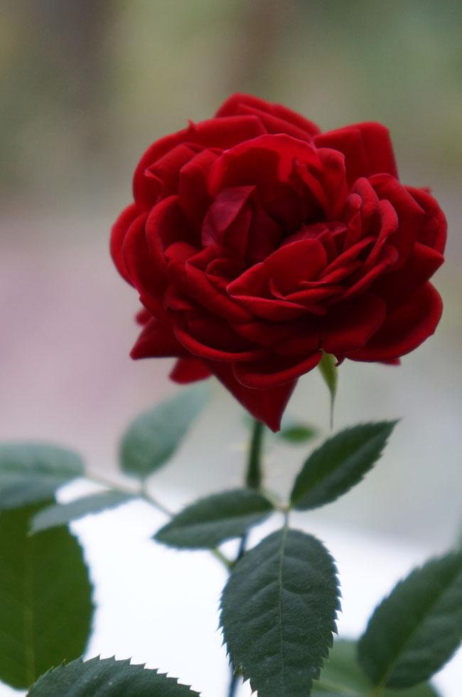 очень красивая роза